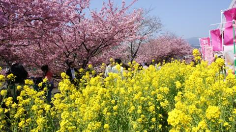 cherry&rape_blossoms