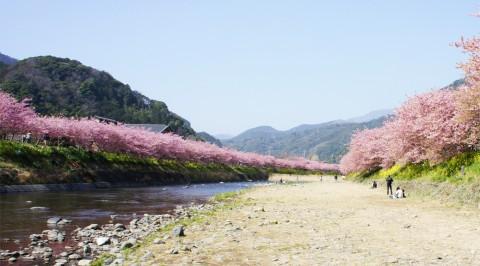 kawazu-sakura