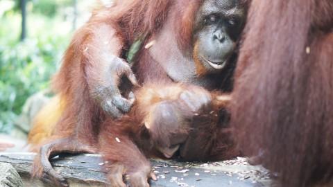 シンガポール動物園オラウータン
