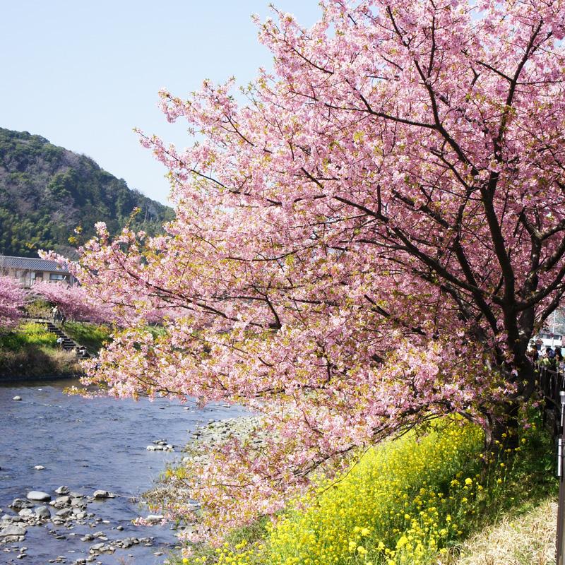 river&sakura